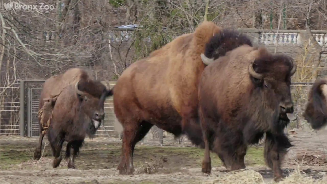 New Bison On Exhibit Bronx Zoo Youtube