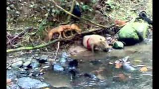 Borneo Experience Hunting With A Dogs.