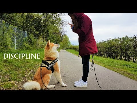 Akita Inu - Discipline