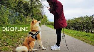 Akita Inu - Discipline (秋田犬)