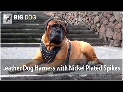 Leather Dog Harness with Spikes on Funny Bullmastiff