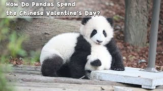 How Do Pandas Spend the Chinese Valentine's Day? | iPanda