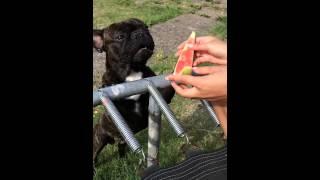 French Bulldog Eats Watermelon