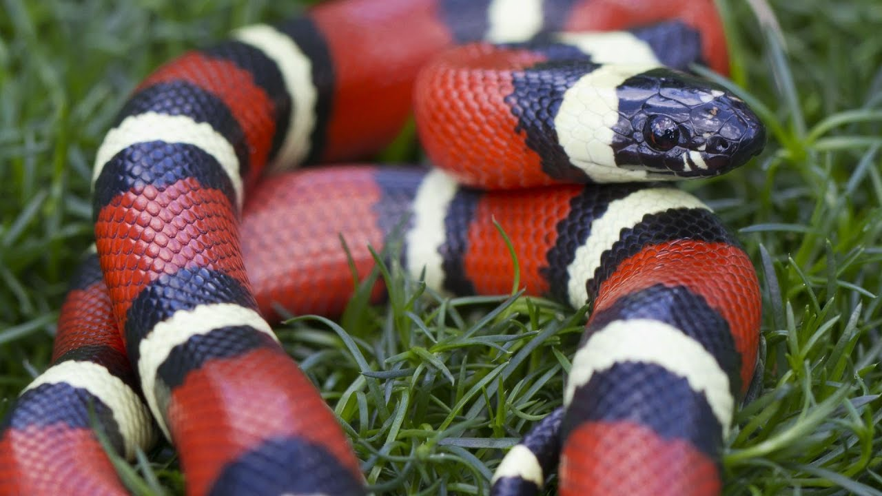 snake corn king california snakes pet pets howcast reptile milksnake wallpapers