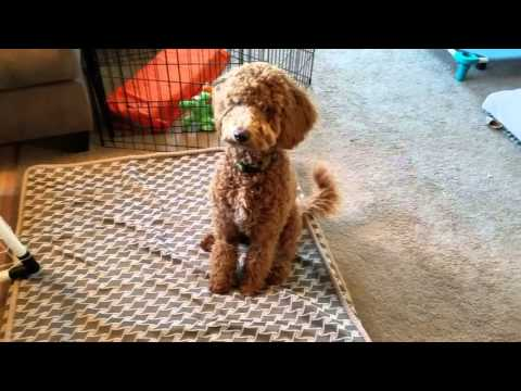 Archie - 7 mo mini Goldendoodle- Door Manners