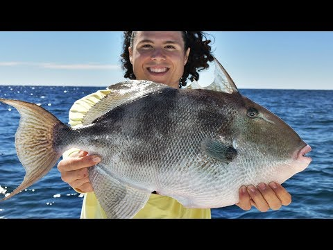 Florida Offshore Reef Fishing - Catching GINORMOUS Triggerfish In Deep Water!!