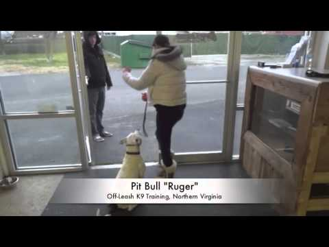 Pit Bull Distance Training! Pit Bull Trainers, Northern Virginia