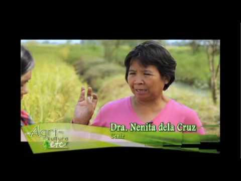 Masinag Organic 1CV: Dr. Nenita dela Cruz - Central Luzon State University (Guimba, Nueva Ecija)