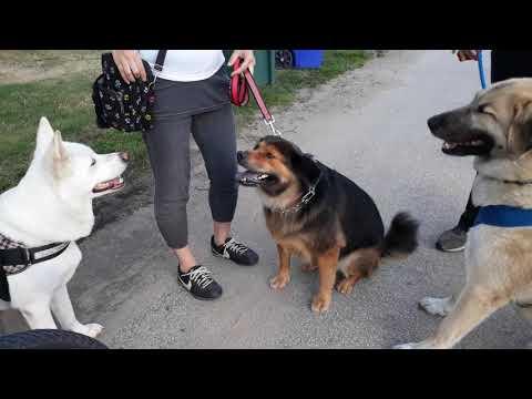 Anatolian Shepherd meets Chow Shepherd and Japanese Kishu