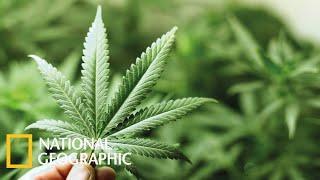 Марихуана  Документальный фильм National Geographic 2021