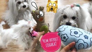 Мальтийская болонка Иви: как живет, какие игрушки выбирает? (обзор, первый влог)