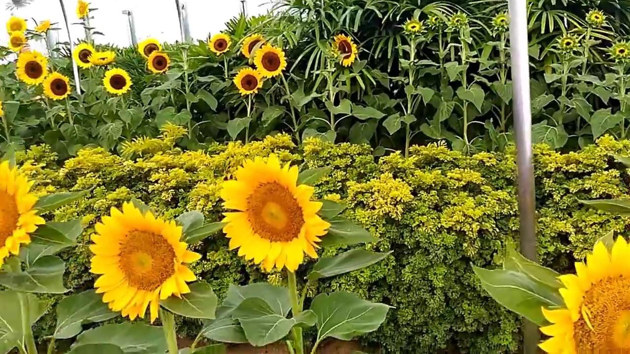 sunflower garden at changi airport singapore