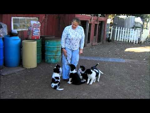 Sycamore Spring Farm English Shepherds puppies a week before moving to there new homes