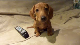 Mini Dachshund - Mr Dash: Puppy Dash