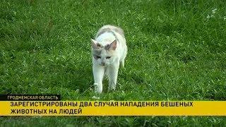 Животные, больные бешенством, нападают на людей в Гродненской области