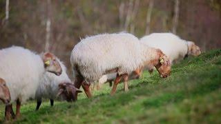 Более 100  пород овец