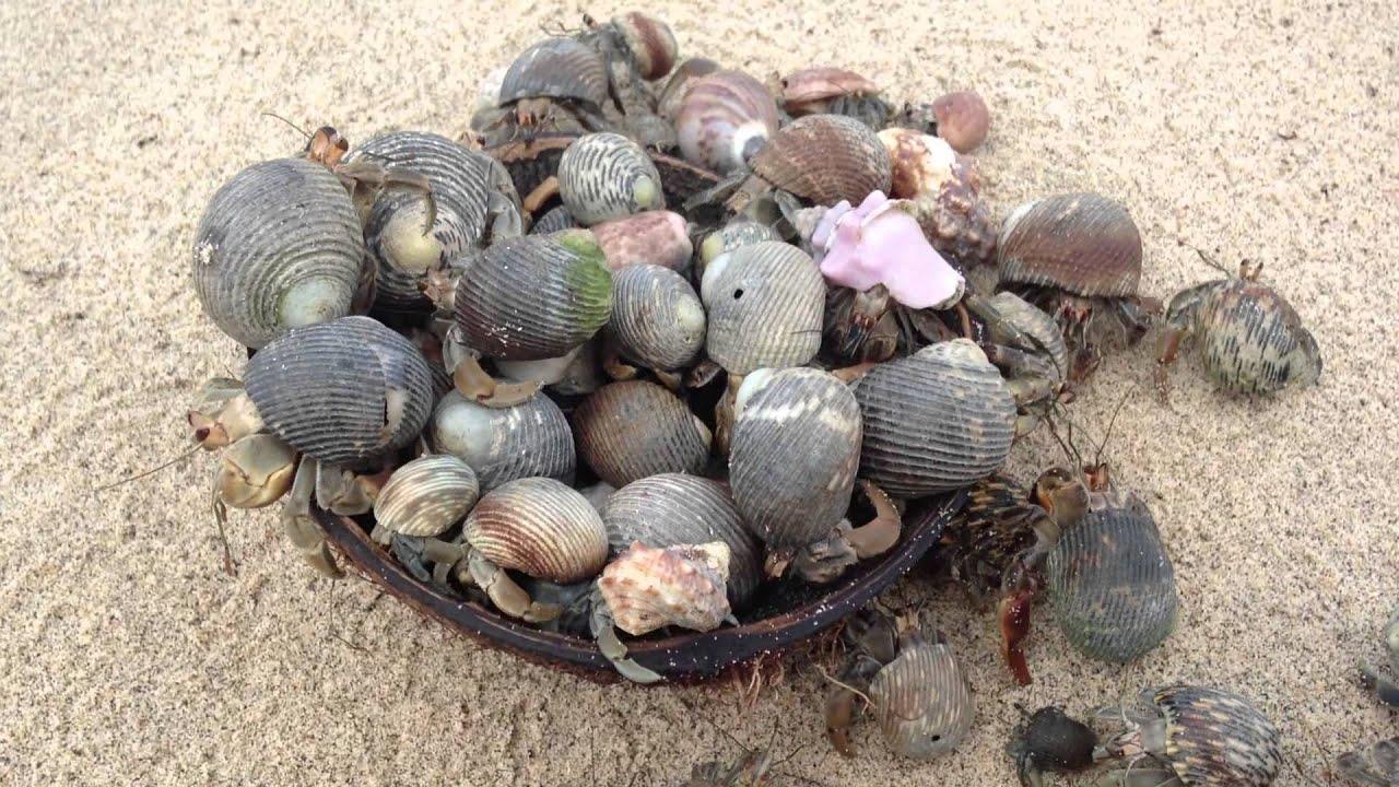 Cangrejos ermitaños comiendo coco! - YouTube