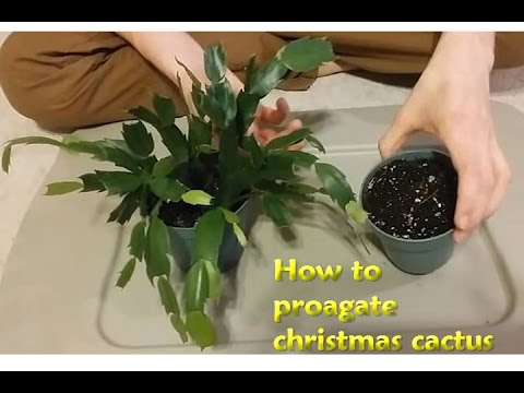 How to propagate Christmas Cactus - YouTube