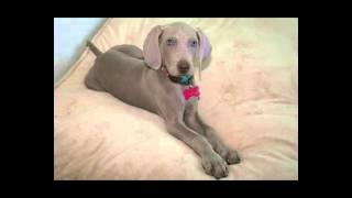 Lia  Weimaraner Photo Vídeo Music