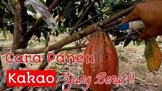 Download Lagu Cara Panen Buah Kakao Yang Benar mp3