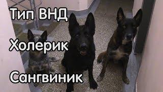 Холерик и сангвиник, фрагмент поведения, зоопсихология дрессировка собак