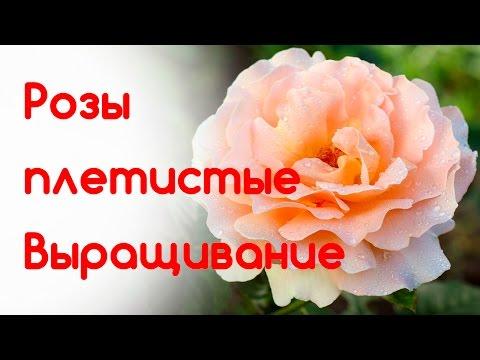 Розы плетистые. Выращивание, уход