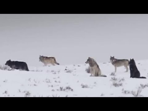 Wolves Hunt Elk | BBC Earth