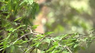 ♪鳥くん野鳥動画 'Thai2015'  Scarlet Minivet female   ヒイロサンショウクイ♀