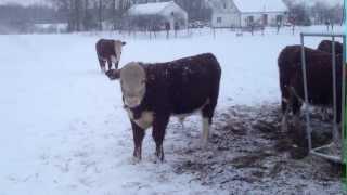 Bulls Hereford bydło mięsne zima 2012