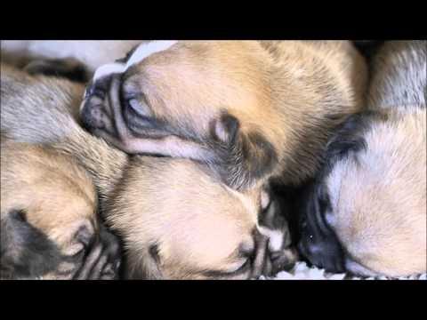 Pugalier Puppies Sleeping