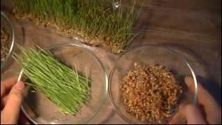 видео Пшеница и рожь. Отличия, фото, применение