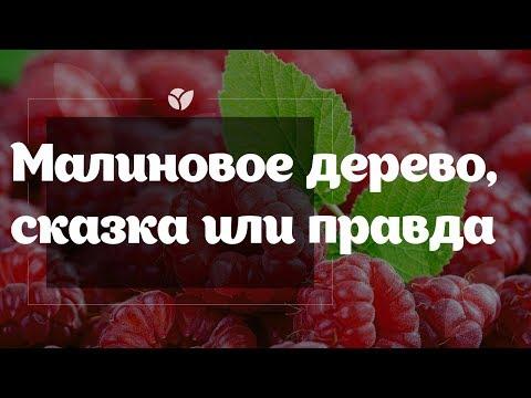 Малиновое дерево 🌳 | Сказка или правда? | Agro-market.net