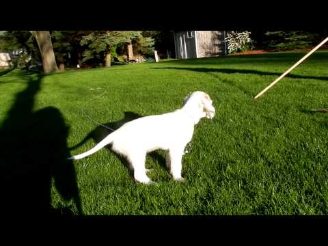 english setter pointing at 8 weeks old