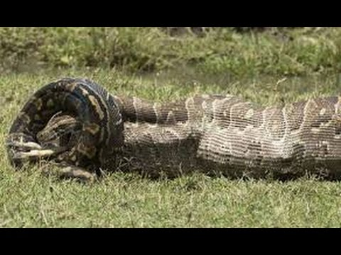 Man eaten by a huge reticulated python - YouTube