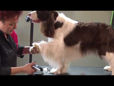 How to Mimic a Show Style Trim on a Pet Springer Spaniel