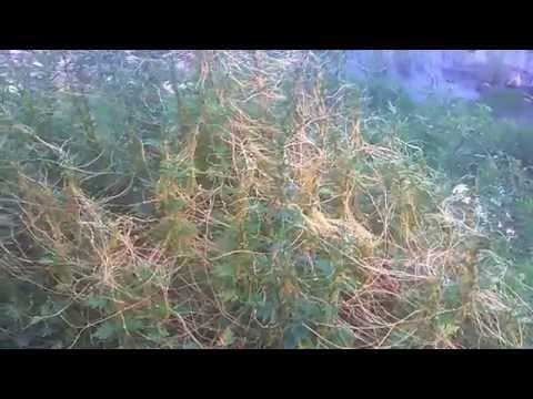 Parasitic Plant (Cuscuta) (Dodder)Overtaking Small Shrubs!!!