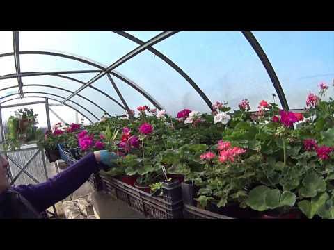 Роза рококо: описание, фото и отзывы