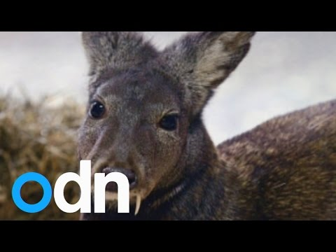 Extremely rare 'vampire' deer is spotted for first time in 60 years