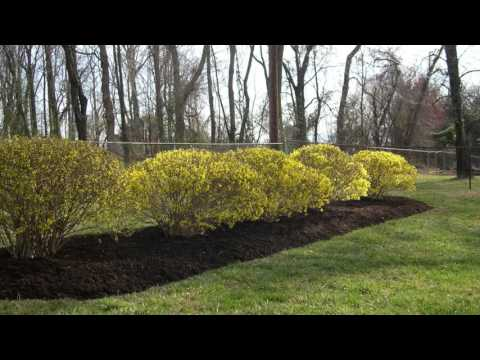 Spring Blooming Forsythia Landscape Design Hagerstown MD Boonsboro MD Washington County MD