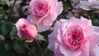 Розы из интернет магазина. Боника и Синдерелла.