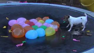Cute Dog Attacks Water Balloons