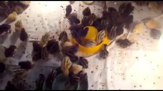 Выращивание перепелов видео#2(Разведение перепелов в домашних условиях., 2016-02-11T13:30:31.000Z)
