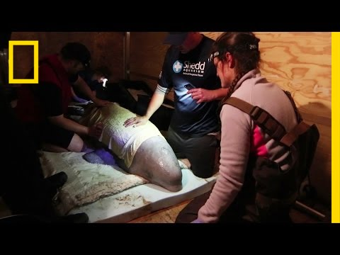 Stranded Beluga Whale Rescued, Flown Back to Sea | National Geographic