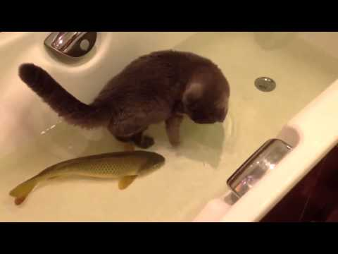 Cat Playing With Fish In A Tub
