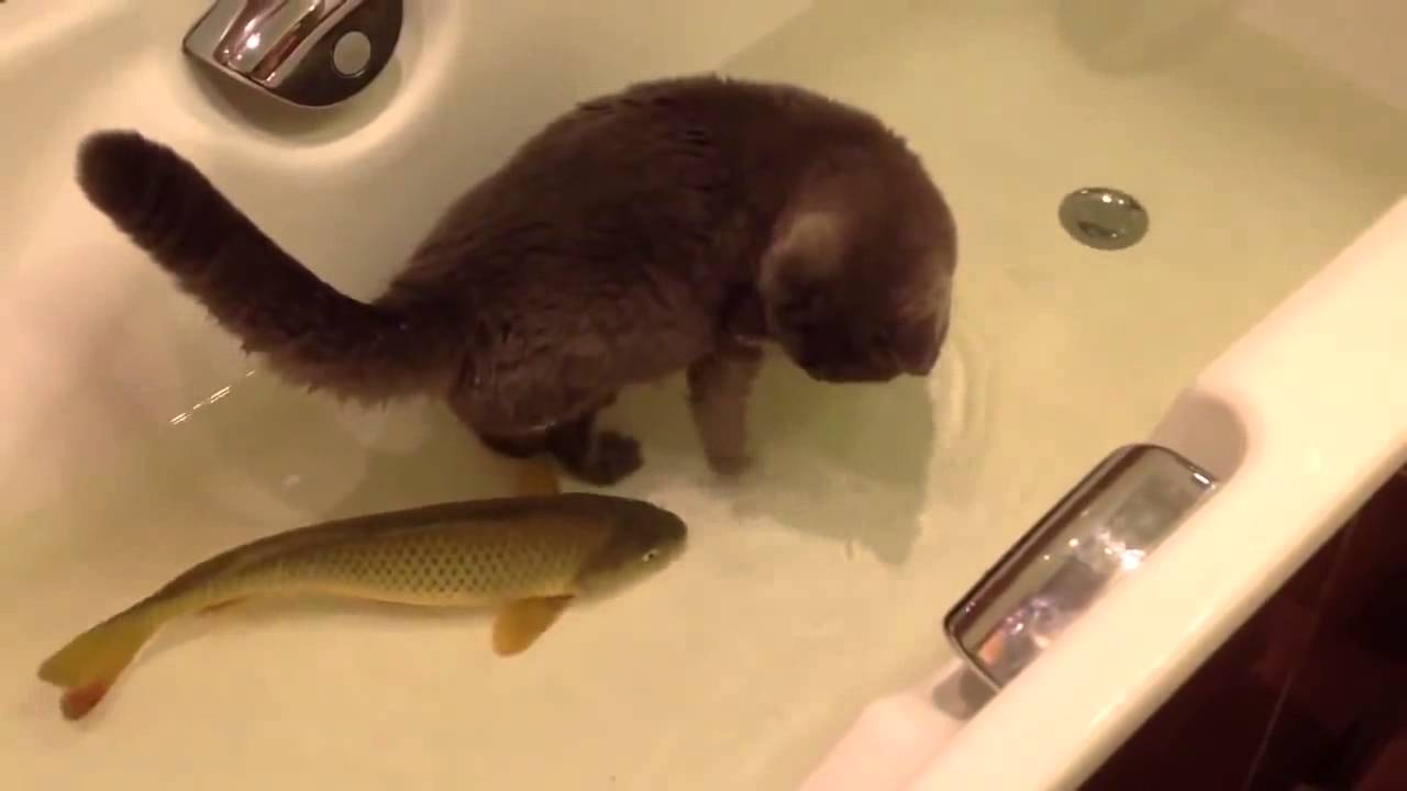 Cat playing with fish in a tub youtube for Fish videos for cats