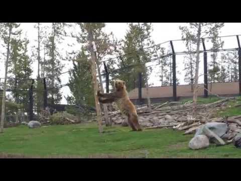 Bear versus Tree at Yellowstone