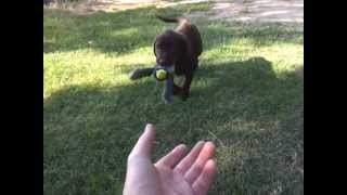 8 Week Old Chocolate Lab Retrieving...naturally