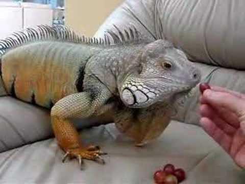Iguana Eating Grapes Youtube