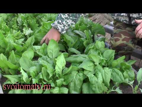 Полезный овощ шпинат «Метла для желудка»
