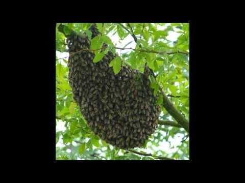 BEEKEEPERS WEST LOS ANGELES 24/7 (Bee Rescue) 213-928-7764